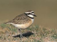 Madagascar (Black-banded) Plover (Charadrius thoracicus) photo