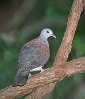 Madagascar Turtle-Dove (Columba picturata) photo