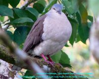 Gray-headed Dove - Leptotila plumbeiceps