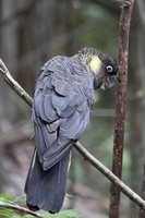 Yellow-tailed Black-Cockatoo - Calyptorhynchus funereus