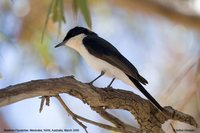 Restless Flycatcher - Myiagra inquieta