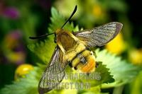 Narrow bordered Bee Hawk moth ( Hemaris tityus ) , fam . hawk moths stock photo