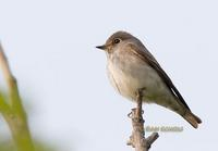 Dark-sided flycatcher C20D 03929.jpg
