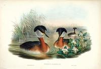 Richter after Gould Red-necked Grebe (Podiceps rubricollis)