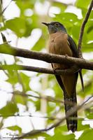 Brush Cuckoo (adult)