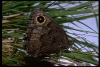 : Cercyonis pegala boopis; Ox-eyed satyr