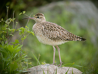 쇠부리도요 Numenius minutus / little whimbrel