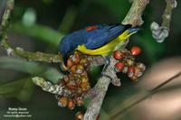 Orange-bellied Flowerpecker (Male) Scientific name - Dicaeum trigonostigma