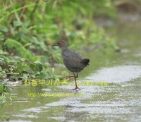 쇠뜸부기사촌 Ruddy-breasted Crake