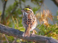 Yellow-browed Bunting Emberiza chrysophrys
