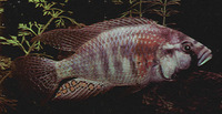 Haplochromis burtoni, : fisheries, aquarium