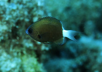 Chromis hanui, Hawaiian bicolor chromis: aquarium