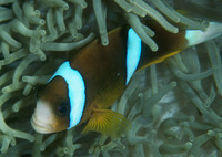 Amphiprion akindynos, Barrier reef anemonefish: aquarium