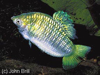 Limia nigrofasciata, Blackbarred limia: aquarium