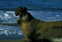 Image of: Mirounga angustirostris (northern elephant seal)