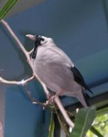 Image of: Creatophora cinerea (wattled starling)