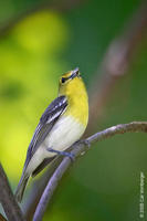 Image of: Vireo flavifrons (yellow-throated vireo)
