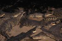 Image of: Crocodylus porosus (estuarine crocodile)