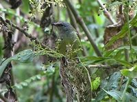 Javan Grey-throated White-eye - Lophozosterops javanicus