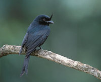 Crested Drongo (Dicrurus forficatus) photo