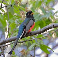 Elegant Trogon (Trogon elegans) photo