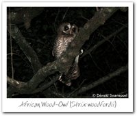 African Wood-Owl - Strix woodfordii