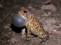 : Bufo houstonensis; Houston Toad