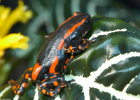 : Phrynomantis bifasciatus; Fire Walking Frog Or Red-banded Rubber Frog