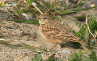 Fig. 1. Greater Shortoed Lark : 쇠종다리