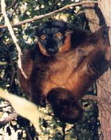 photograph of a collared lemur