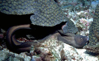 Gymnothorax vicinus, Purplemouth moray: fisheries, aquarium