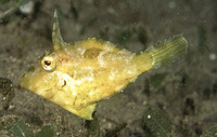 Paramonacanthus japonicus, Hairfinned leatherjacket: