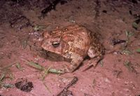 Bufo houstonensis - Houston Toad