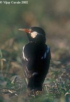 Asian Pied Starling - Sturnus contra