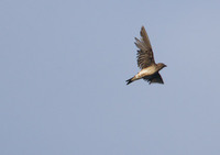 Brown-chested Martin (Progne tapera) photo