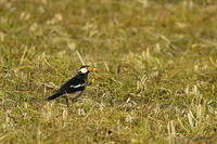Asian Pied Starling - Gracupica contra