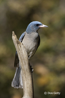 : Aphelocoma ultramarina; Gray-breasted Jay