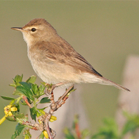 Booted Warbler