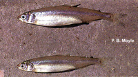 Hypomesus transpacificus, Delta smelt: