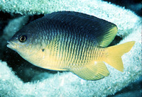 Stegastes variabilis, Cocoa damselfish: aquarium