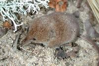 Image of: Sorex cinereus (cinereus shrew)
