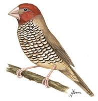 Image of: Amadina erythrocephala (red-headed finch)