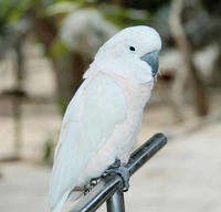 Image of: Cacatua moluccensis (salmon-crested cockatoo)