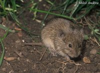 Microtus arvalis - Common Vole