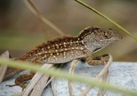 Image of: Norops sagrei (brown anole)