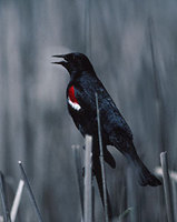 Tricolored Blackbird (Agelaius tricolor) photo