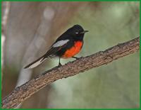 Painted Redstart at Cave Creek
