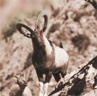 Chiltan Wild Goat