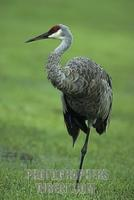 Canada crane ( Grus canadensis ) , Florida , USA stock photo