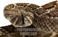 Mexican rattlesnake , Crotalus stock photo